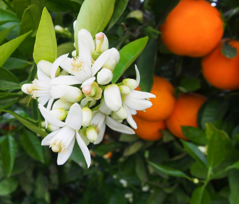 How to Make Orange Flower Herbal Anti-Wrinkle Cream